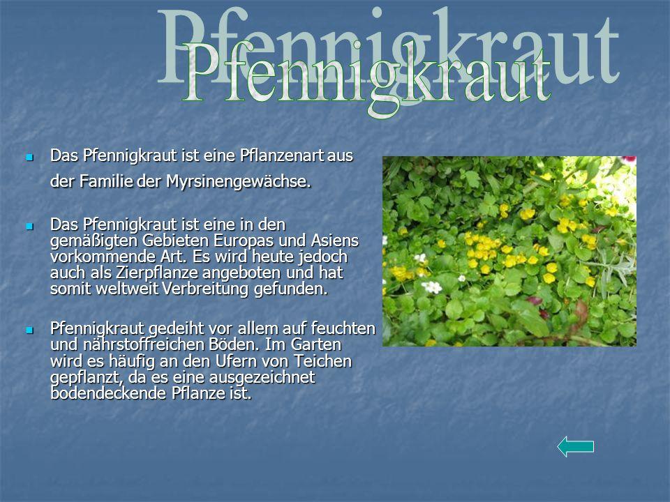 Pfennigkraut Das Pfennigkraut ist eine Pflanzenart aus der Familie der Myrsinengewächse.