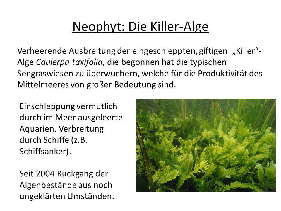 Neophyt: Die Killer-Alge