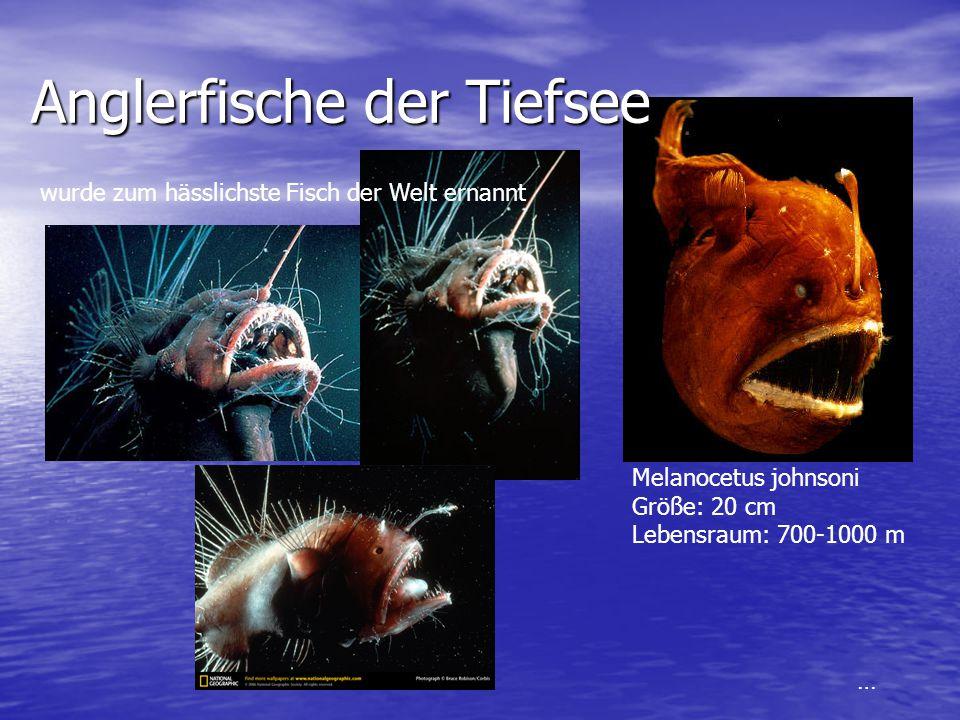 Anglerfische der Tiefsee