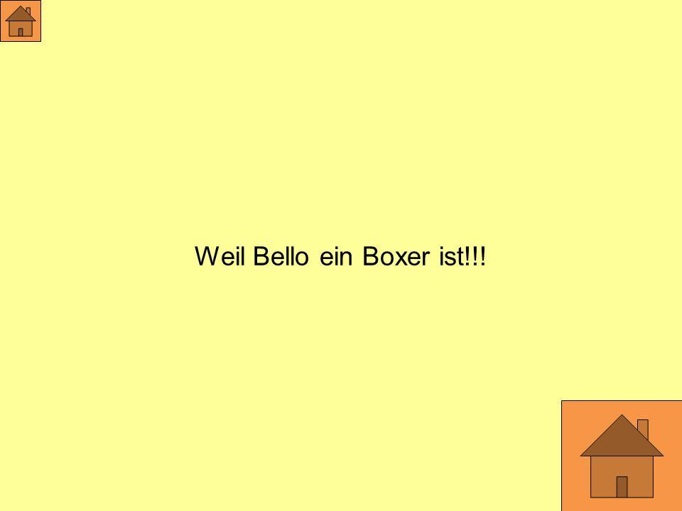 Weil Bello ein Boxer ist!!!