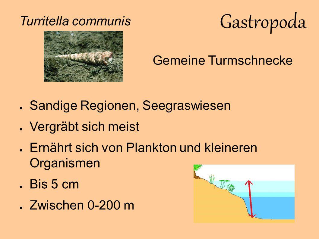 Gastropoda Turritella communis Gemeine Turmschnecke