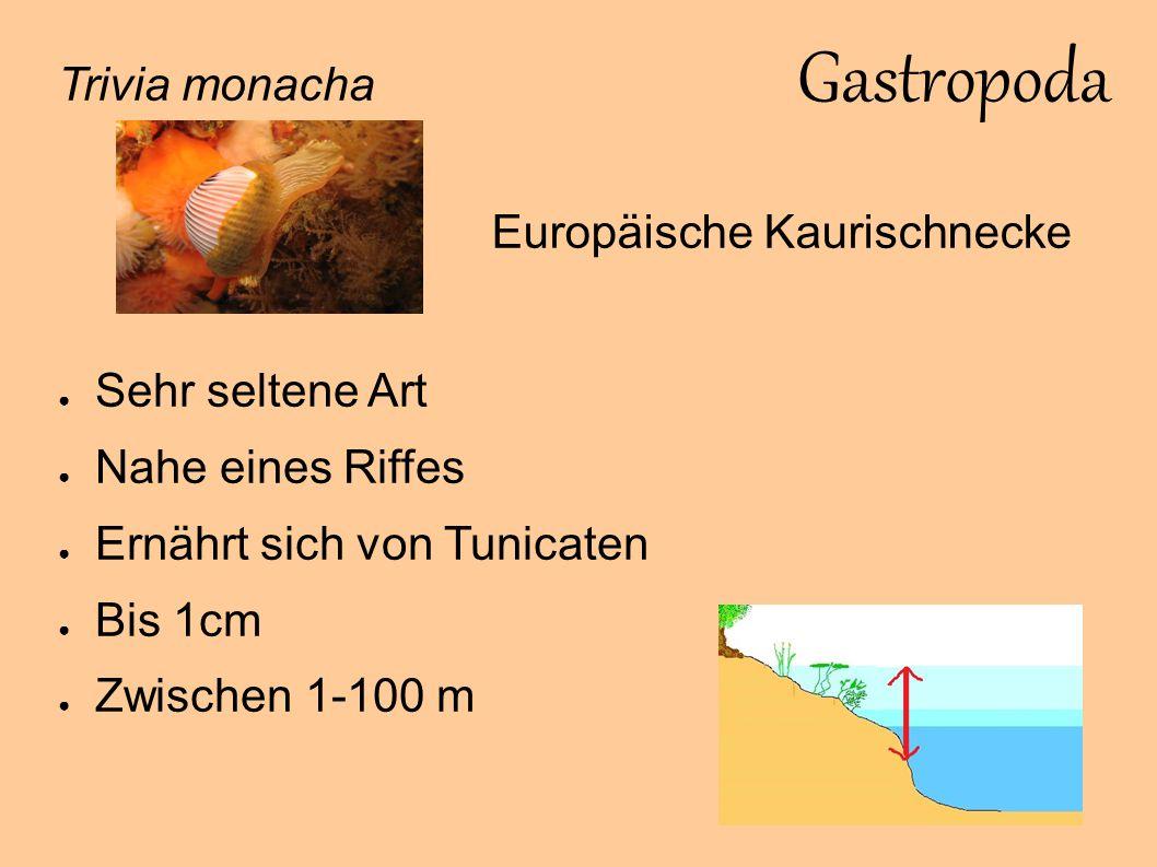 Gastropoda Trivia monacha Europäische Kaurischnecke Sehr seltene Art