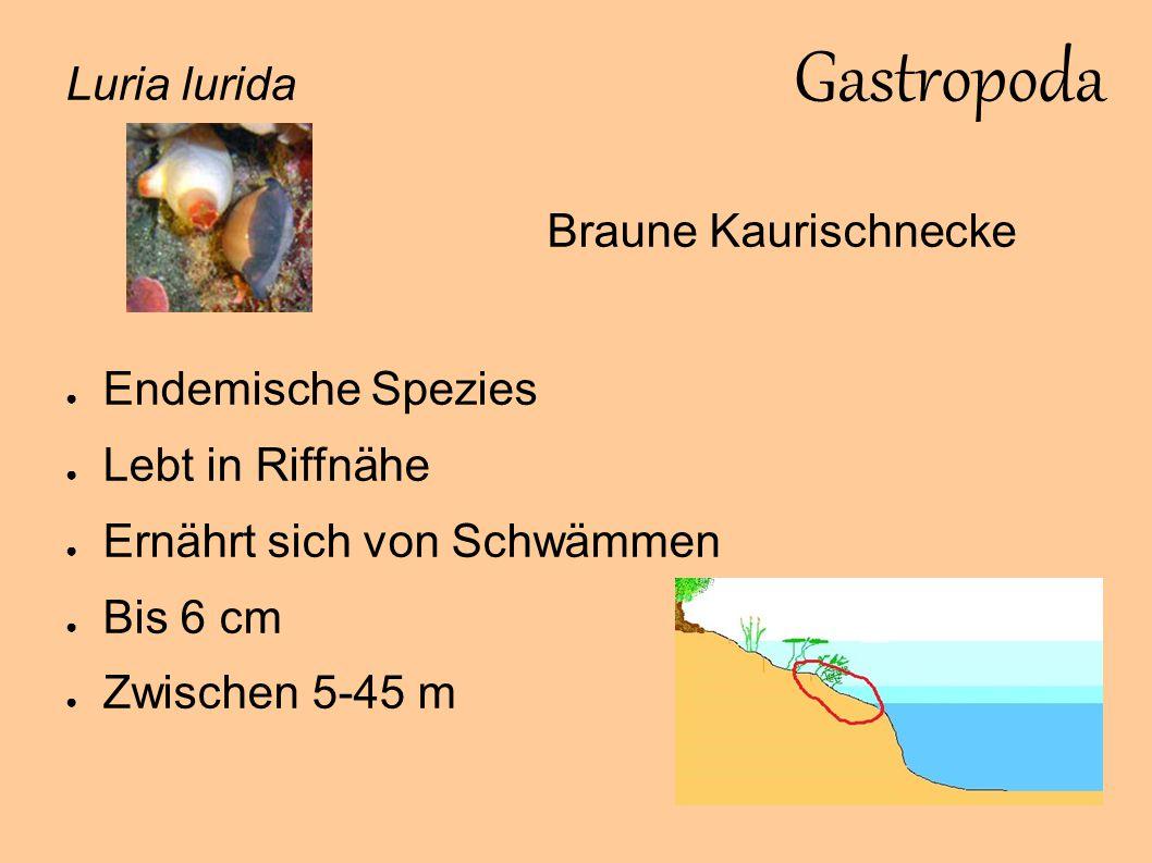 Gastropoda Luria lurida Braune Kaurischnecke Endemische Spezies