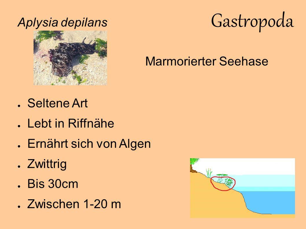 Gastropoda Aplysia depilans Marmorierter Seehase Seltene Art