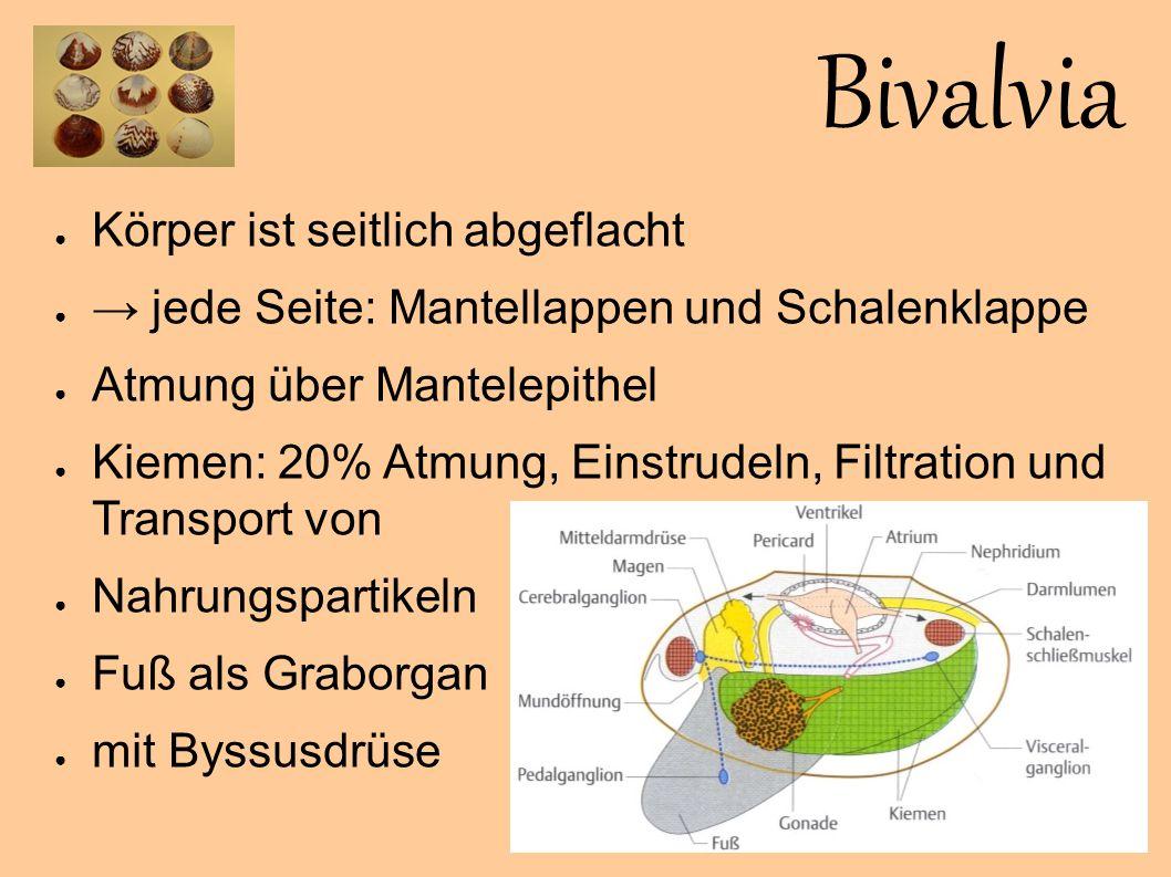 Bivalvia Körper ist seitlich abgeflacht