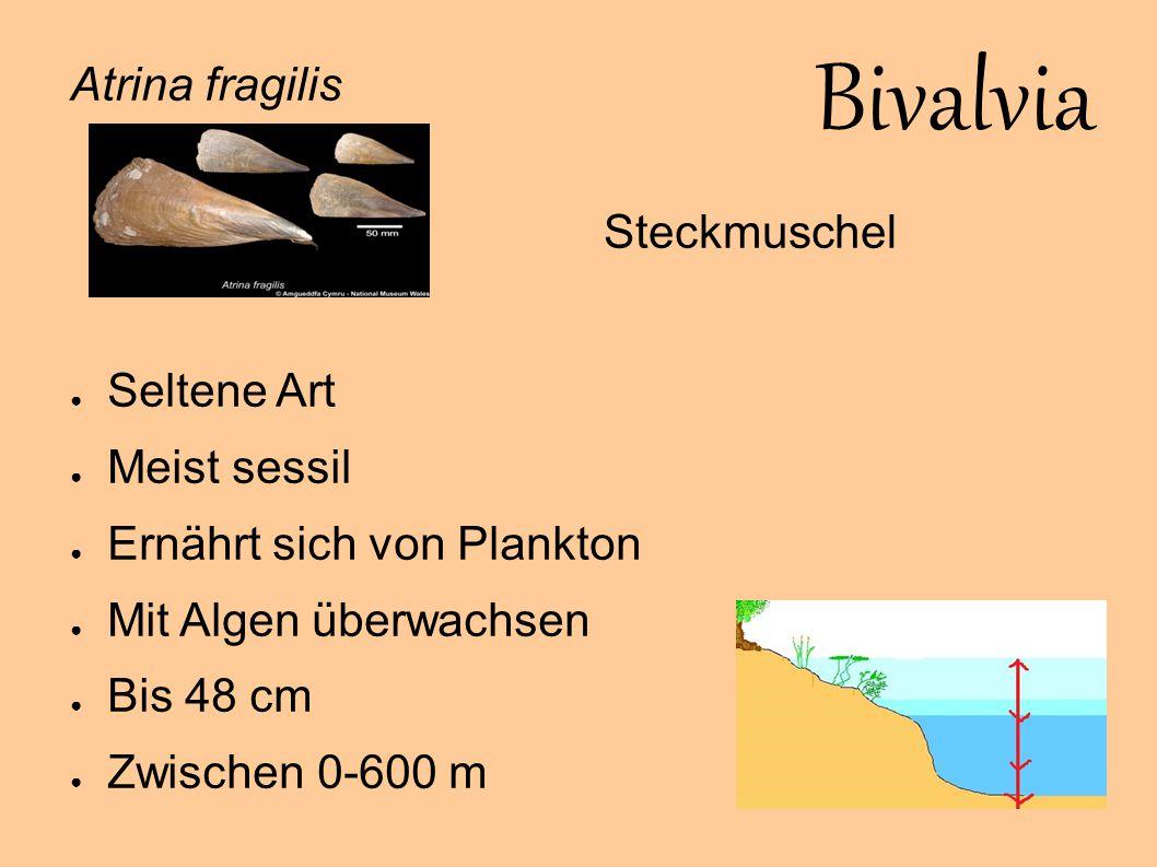 Bivalvia Atrina fragilis Steckmuschel Seltene Art Meist sessil