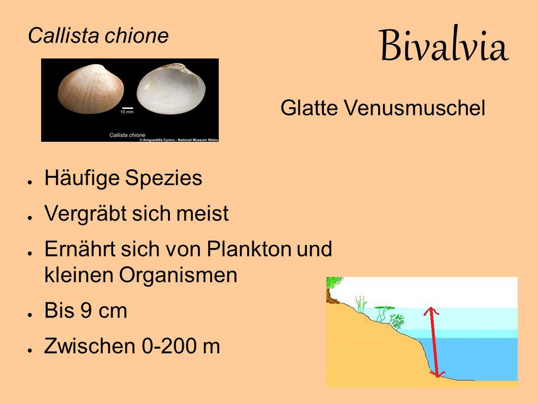 Bivalvia Callista chione Häufige Spezies Glatte Venusmuschel