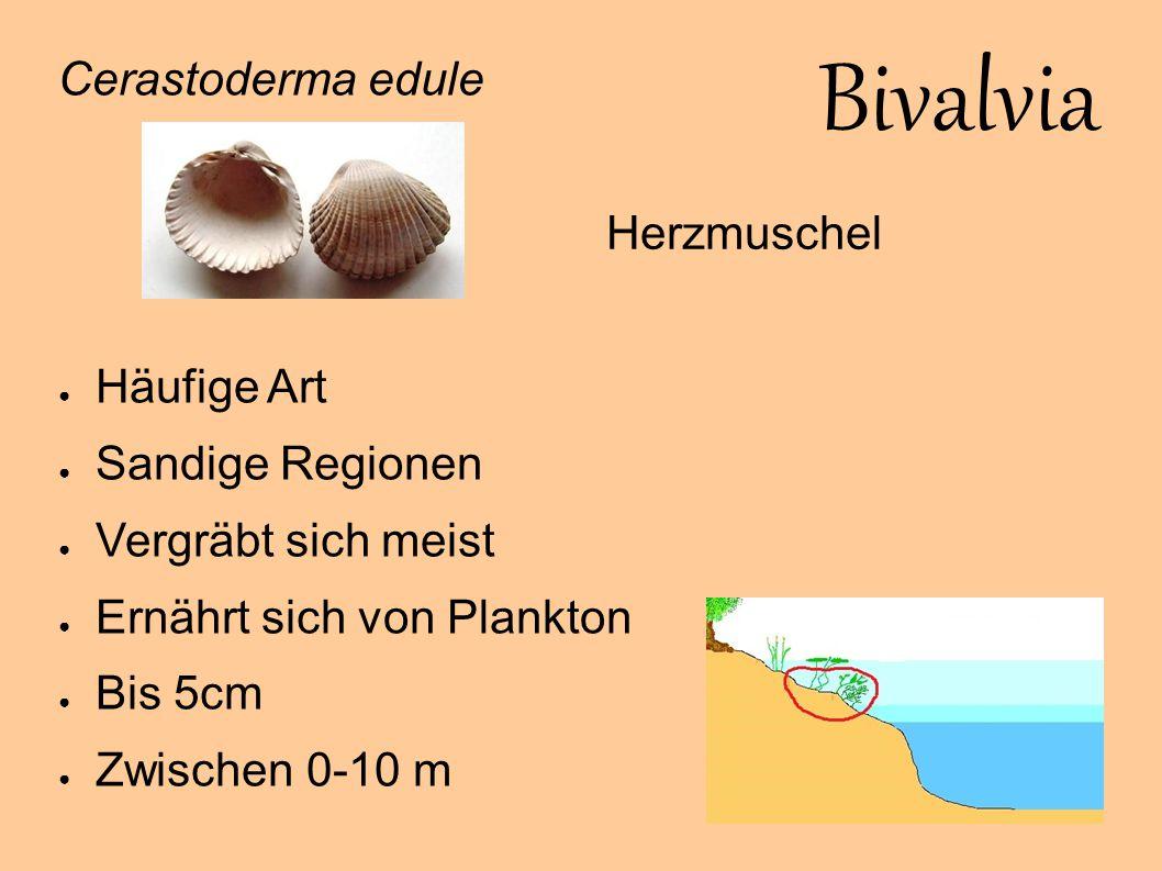 Bivalvia Cerastoderma edule Häufige Art Sandige Regionen