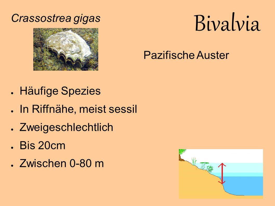 Bivalvia Crassostrea gigas Häufige Spezies Pazifische Auster