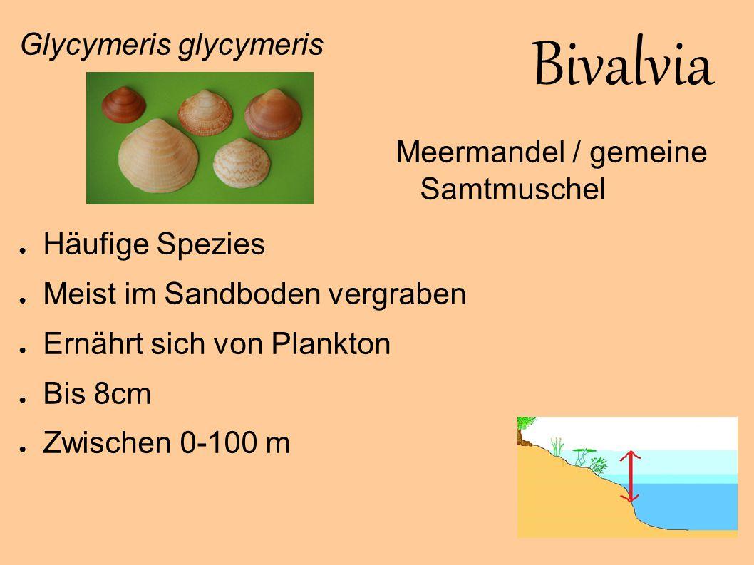 Bivalvia Glycymeris glycymeris Häufige Spezies
