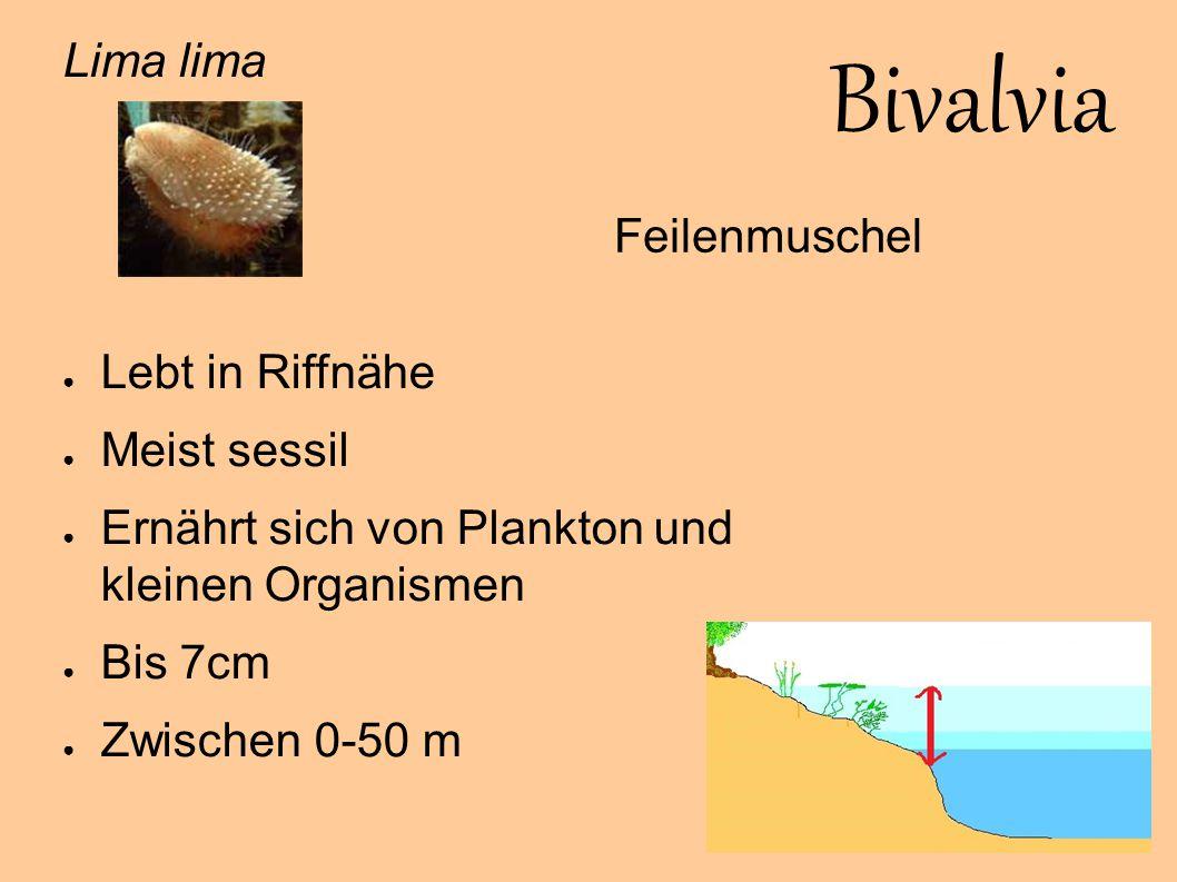 Bivalvia Lima lima Lebt in Riffnähe Feilenmuschel Meist sessil