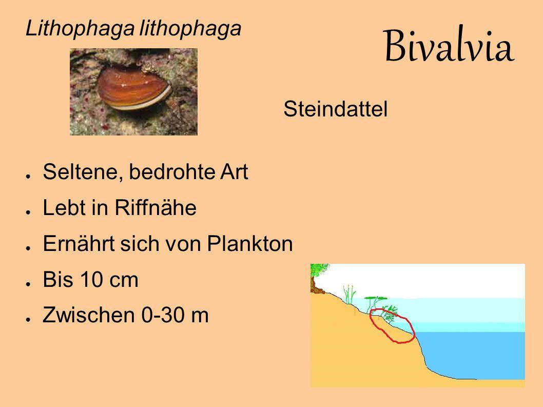 Bivalvia Lithophaga lithophaga Seltene, bedrohte Art Steindattel