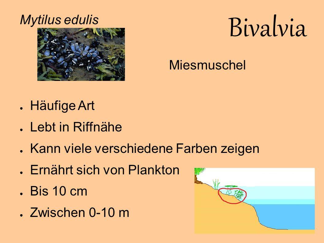 Bivalvia Mytilus edulis Häufige Art Miesmuschel Lebt in Riffnähe