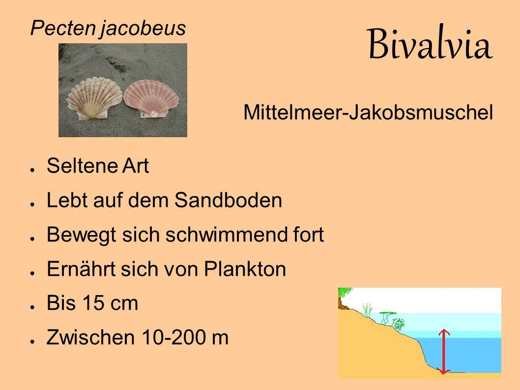 Bivalvia Pecten jacobeus Seltene Art Mittelmeer-Jakobsmuschel