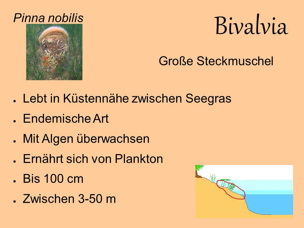Bivalvia Pinna nobilis Lebt in Küstennähe zwischen Seegras