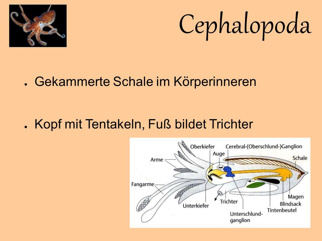 Cephalopoda Gekammerte Schale im Körperinneren