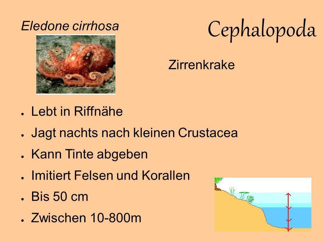 Cephalopoda Eledone cirrhosa Zirrenkrake Lebt in Riffnähe