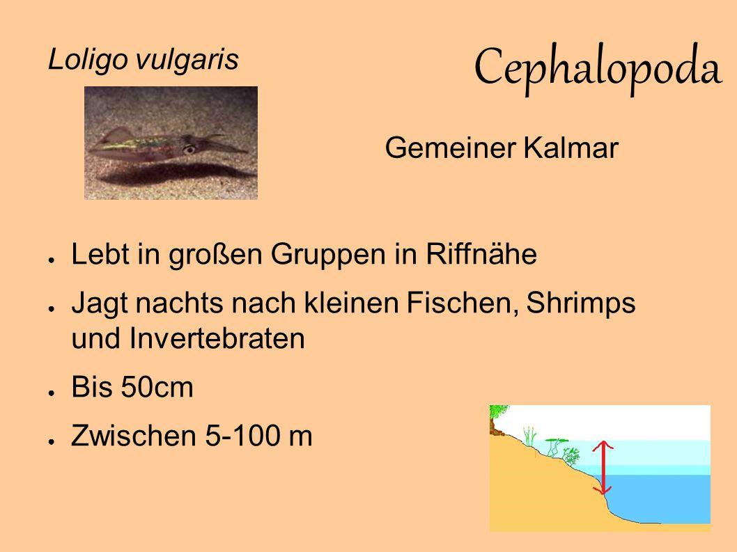 Cephalopoda Loligo vulgaris Gemeiner Kalmar