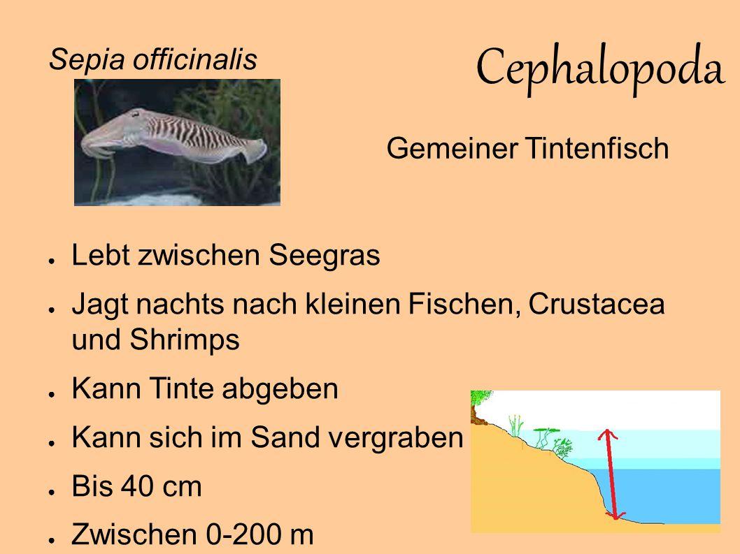 Cephalopoda Sepia officinalis Gemeiner Tintenfisch