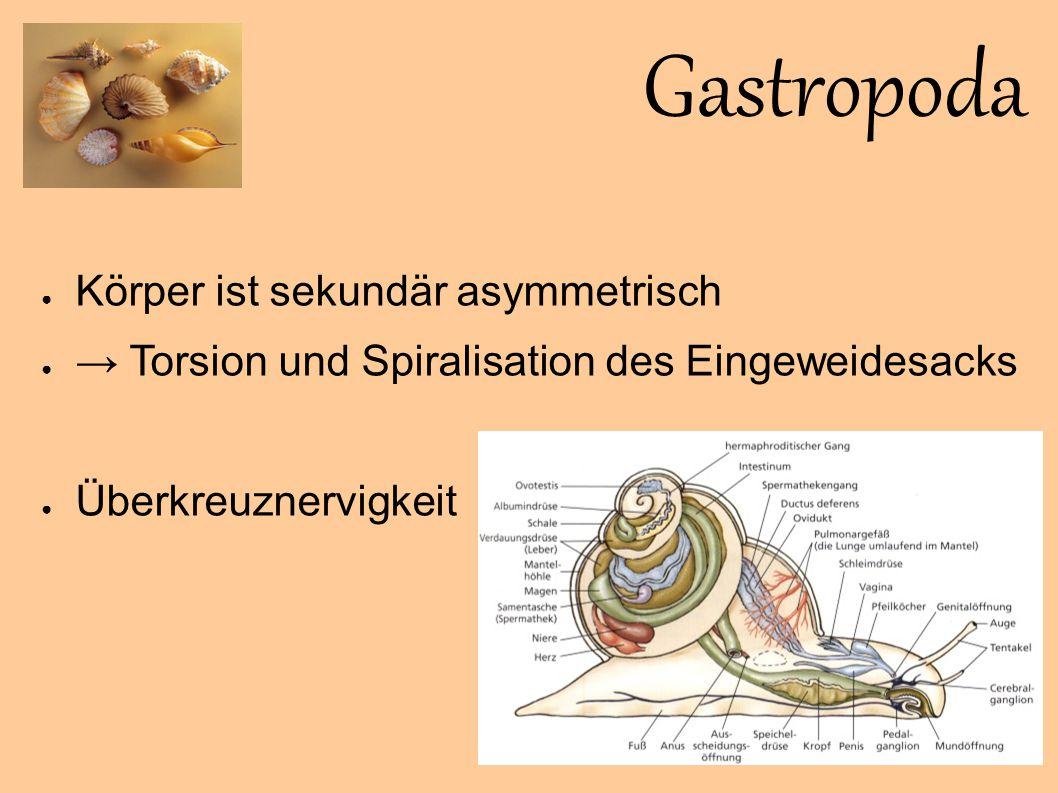 Gastropoda Körper ist sekundär asymmetrisch
