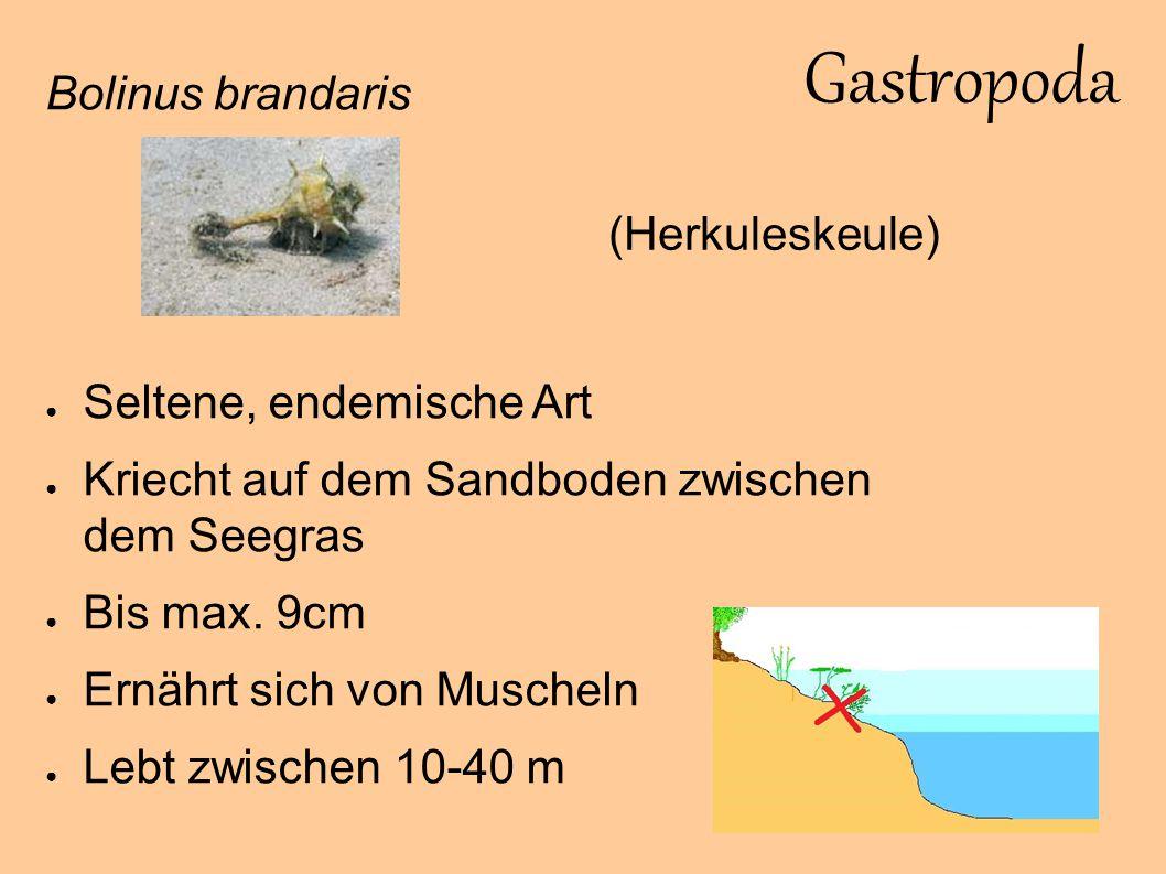 Gastropoda Bolinus brandaris (Herkuleskeule) Seltene, endemische Art