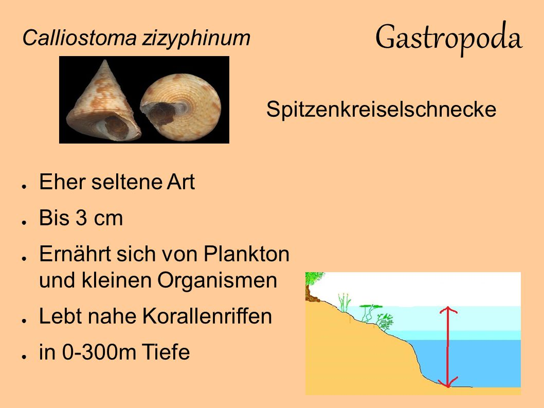 Gastropoda Calliostoma zizyphinum Eher seltene Art