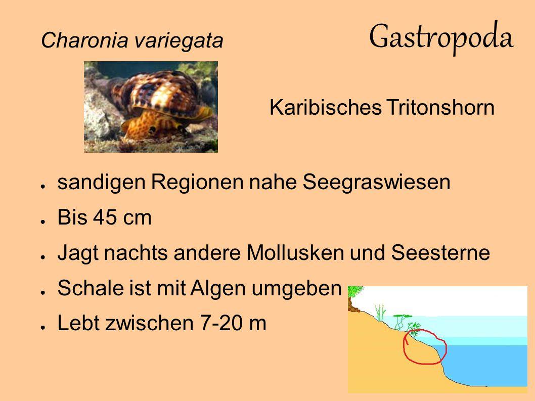 Gastropoda Charonia variegata Karibisches Tritonshorn