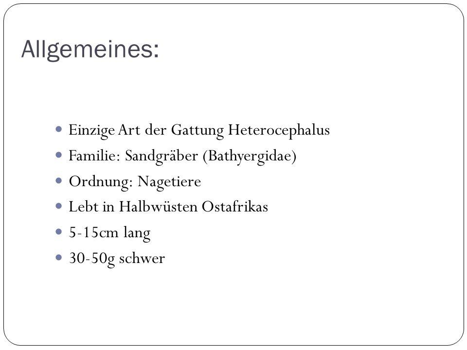 Allgemeines: Einzige Art der Gattung Heterocephalus