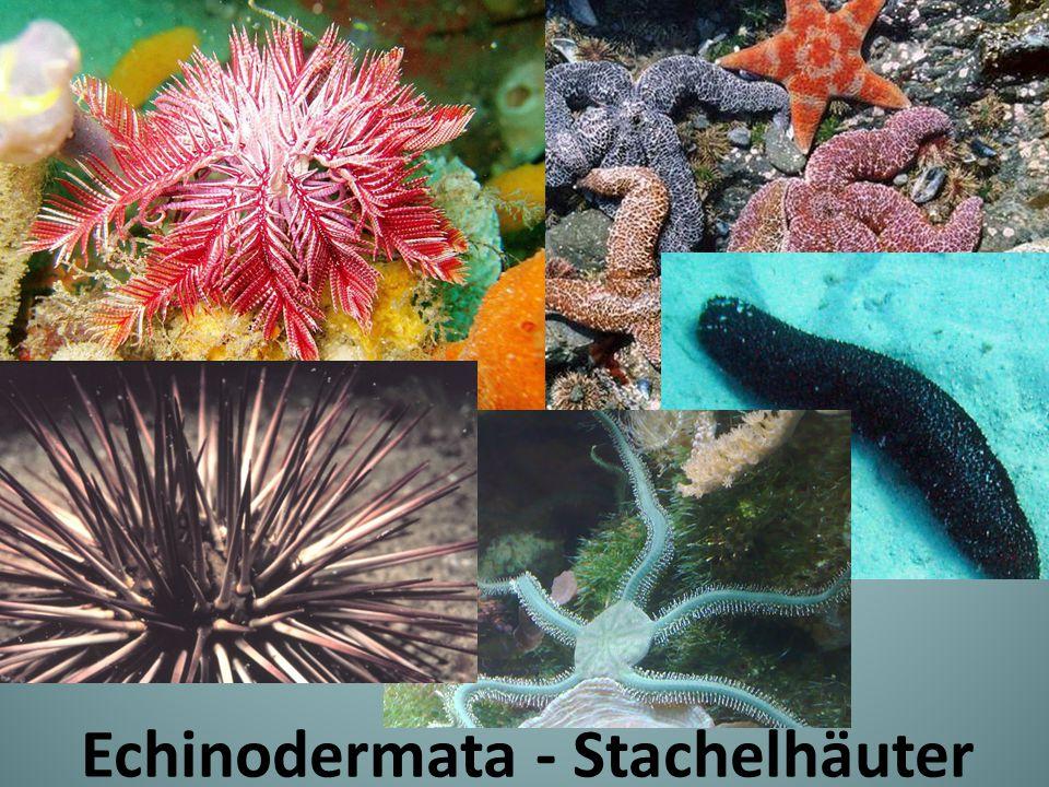 Echinodermata - Stachelhäuter