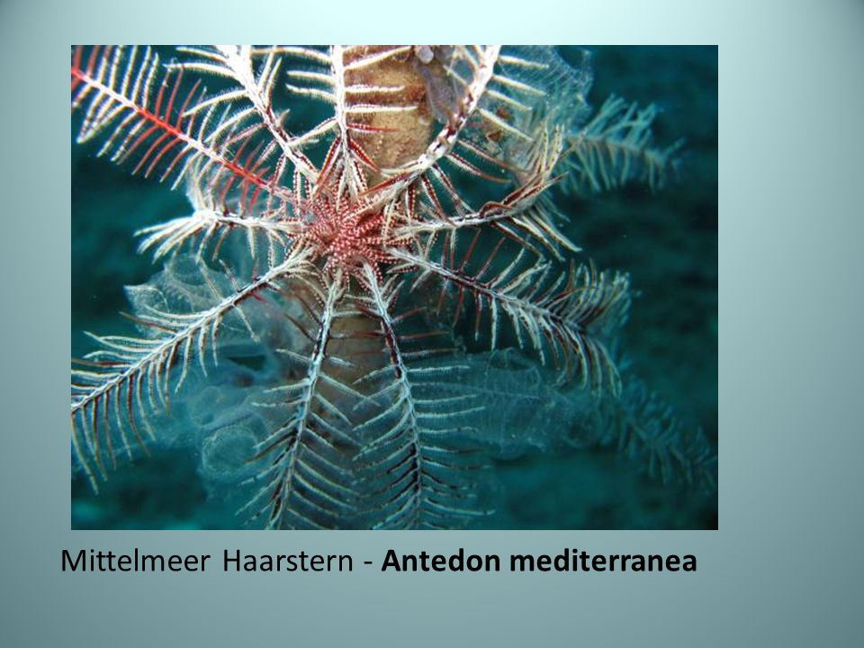 Mittelmeer Haarstern - Antedon mediterranea