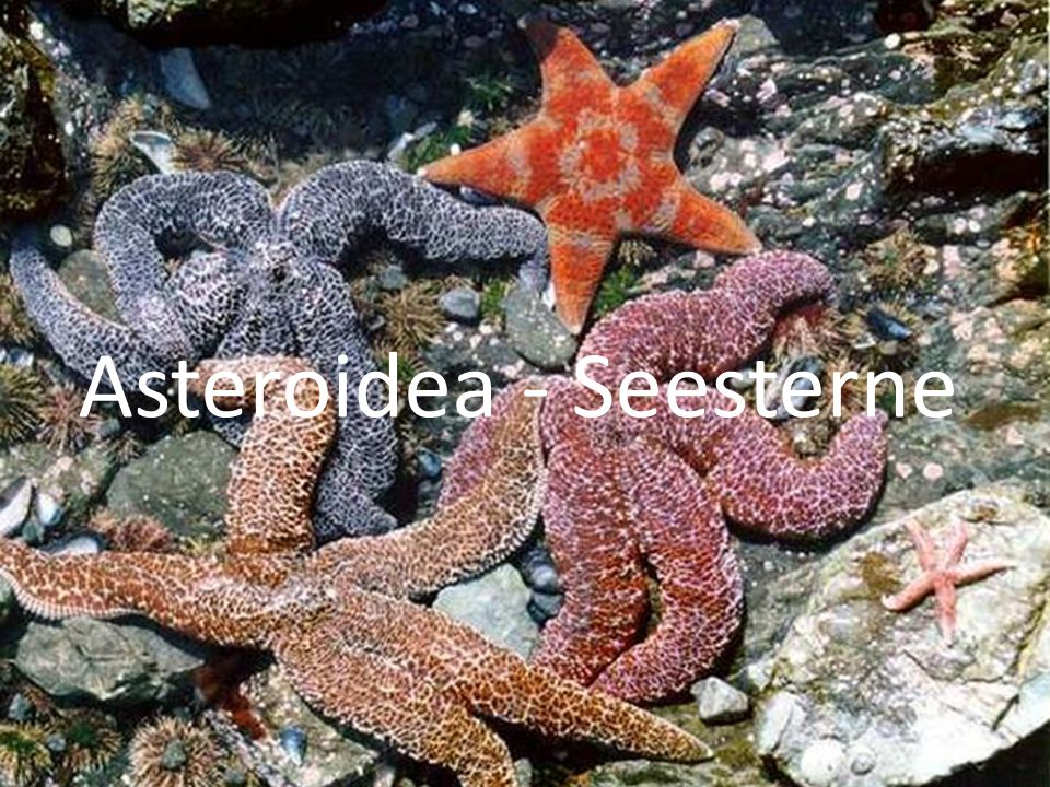 Asteroidea - Seesterne