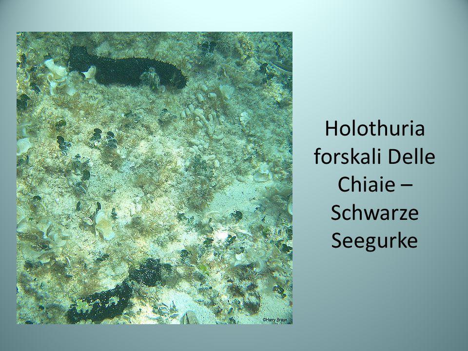 Holothuria forskali Delle Chiaie –Schwarze Seegurke