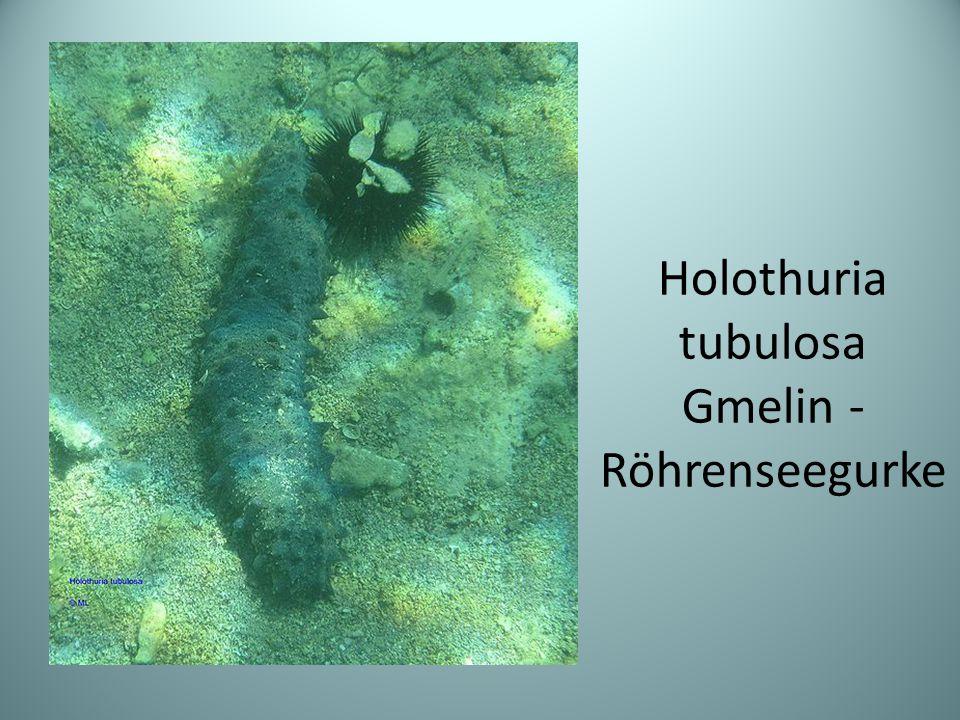Holothuria tubulosa Gmelin - Röhrenseegurke