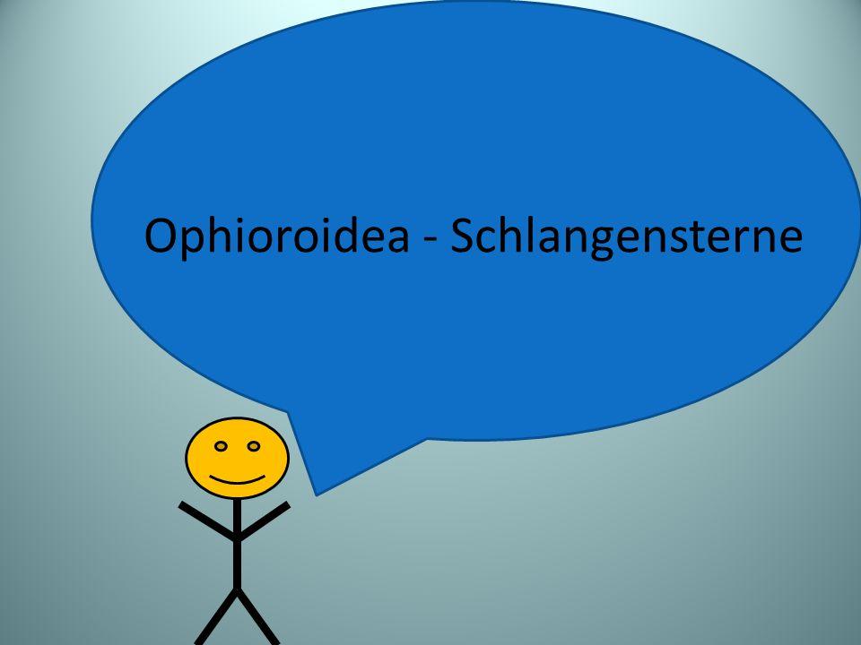 Ophioroidea - Schlangensterne
