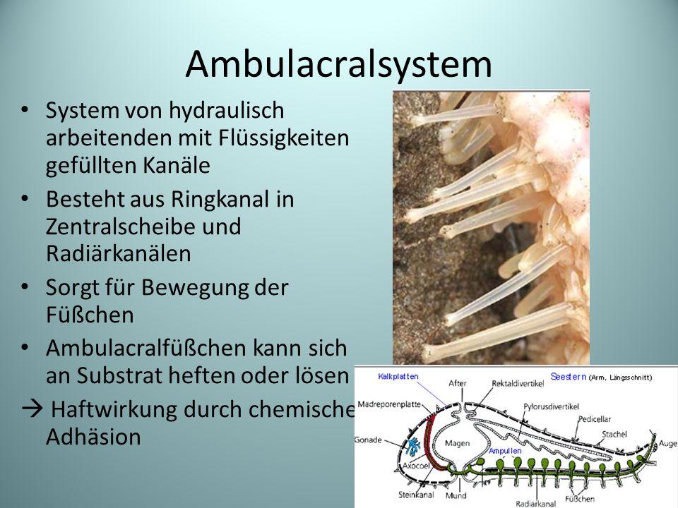 Ambulacralsystem System von hydraulisch arbeitenden mit Flüssigkeiten gefüllten Kanäle. Besteht aus Ringkanal in Zentralscheibe und Radiärkanälen.