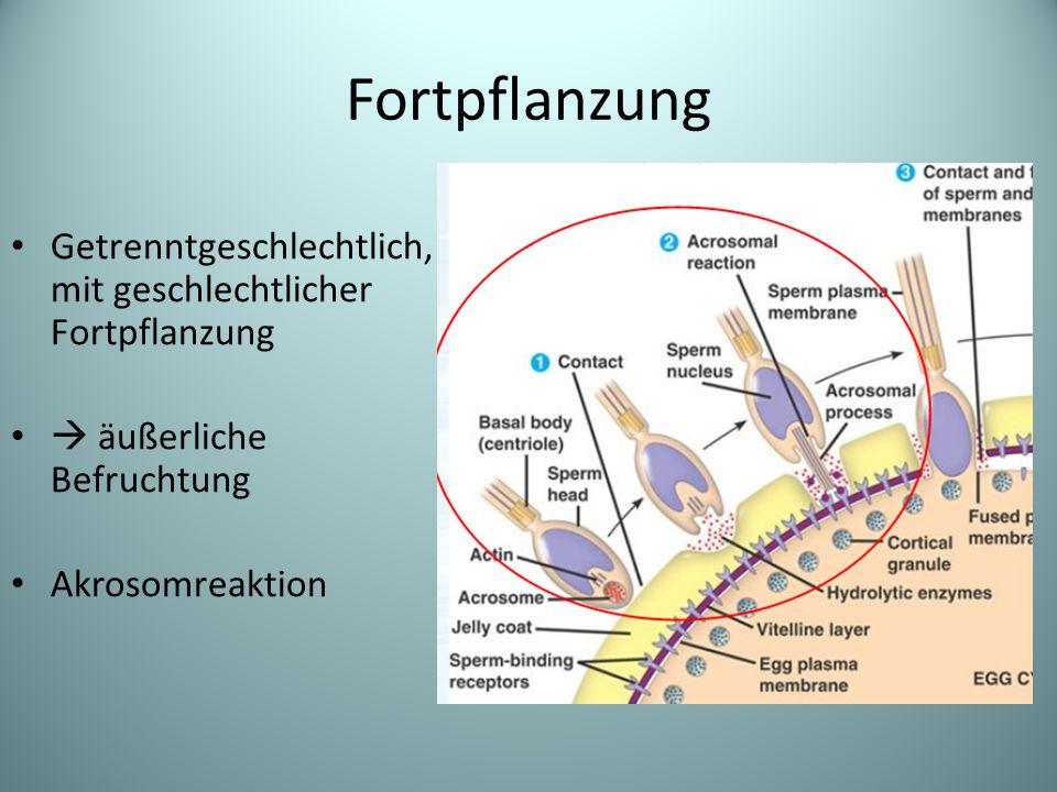 Fortpflanzung Getrenntgeschlechtlich, mit geschlechtlicher Fortpflanzung.  äußerliche Befruchtung.