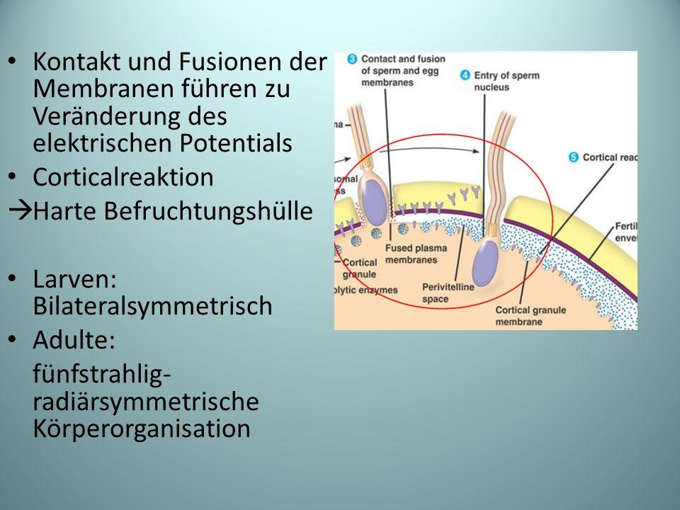 Kontakt und Fusionen der Membranen führen zu Veränderung des elektrischen Potentials