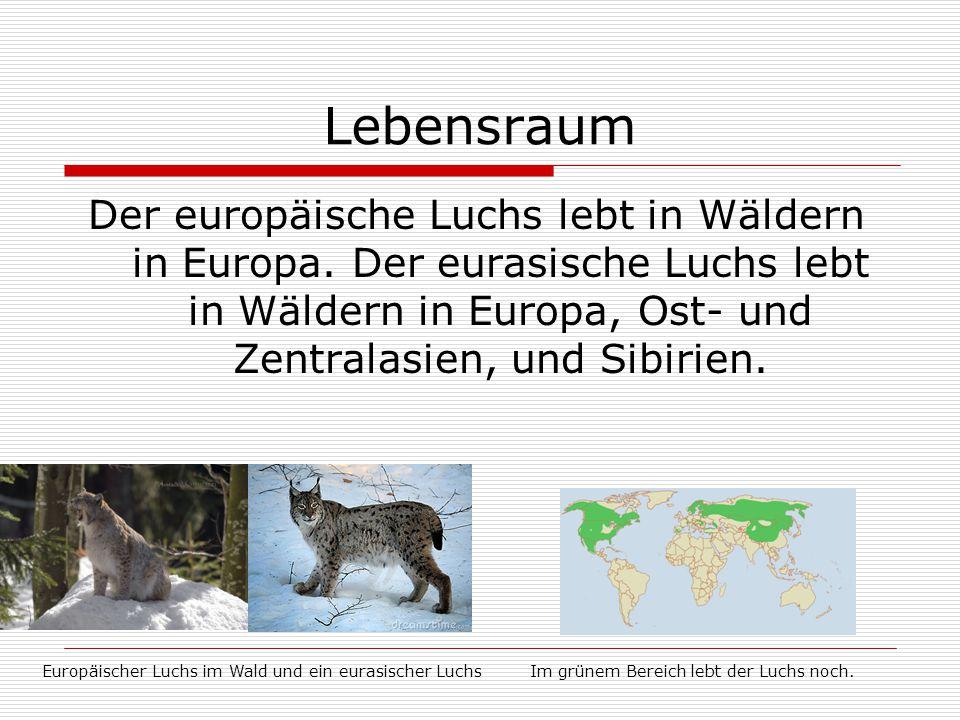 Lebensraum Der europäische Luchs lebt in Wäldern in Europa. Der eurasische Luchs lebt in Wäldern in Europa, Ost- und Zentralasien, und Sibirien.