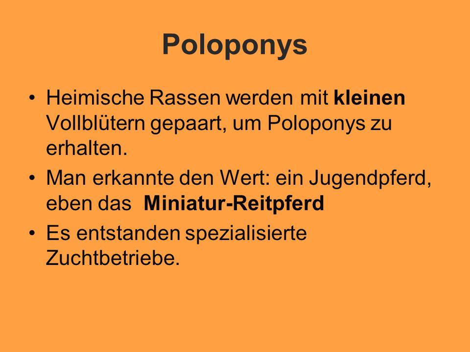 Poloponys Heimische Rassen werden mit kleinen Vollblütern gepaart, um Poloponys zu erhalten.