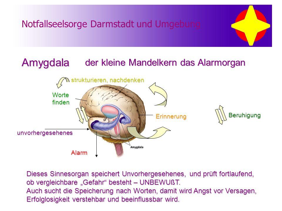 Amygdala der kleine Mandelkern das Alarmorgan