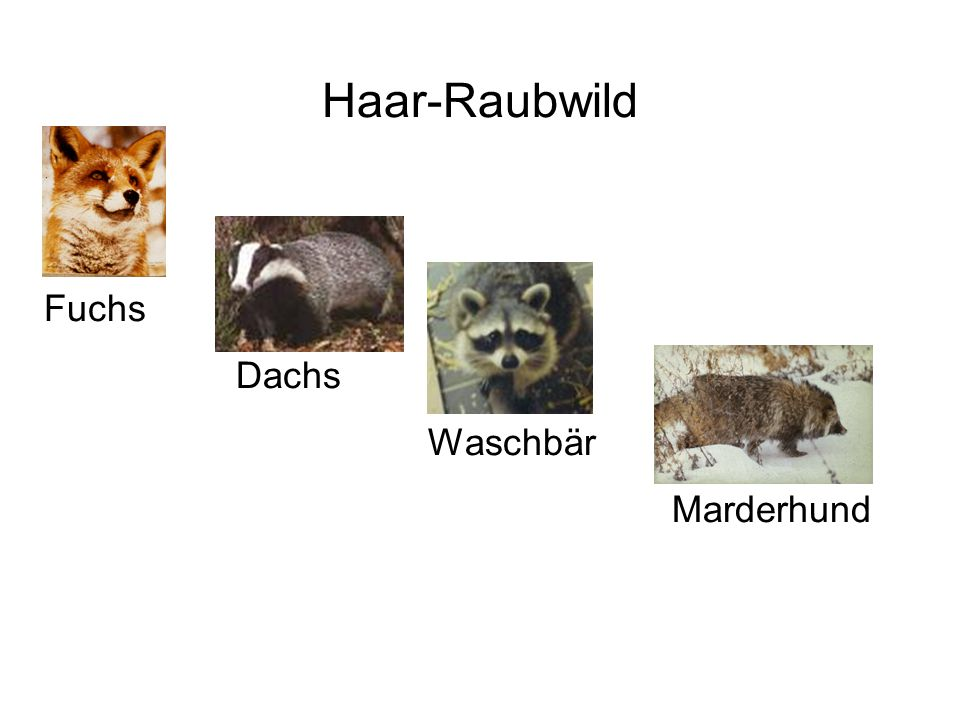 Haar-Raubwild Fuchs Dachs Waschbär Marderhund
