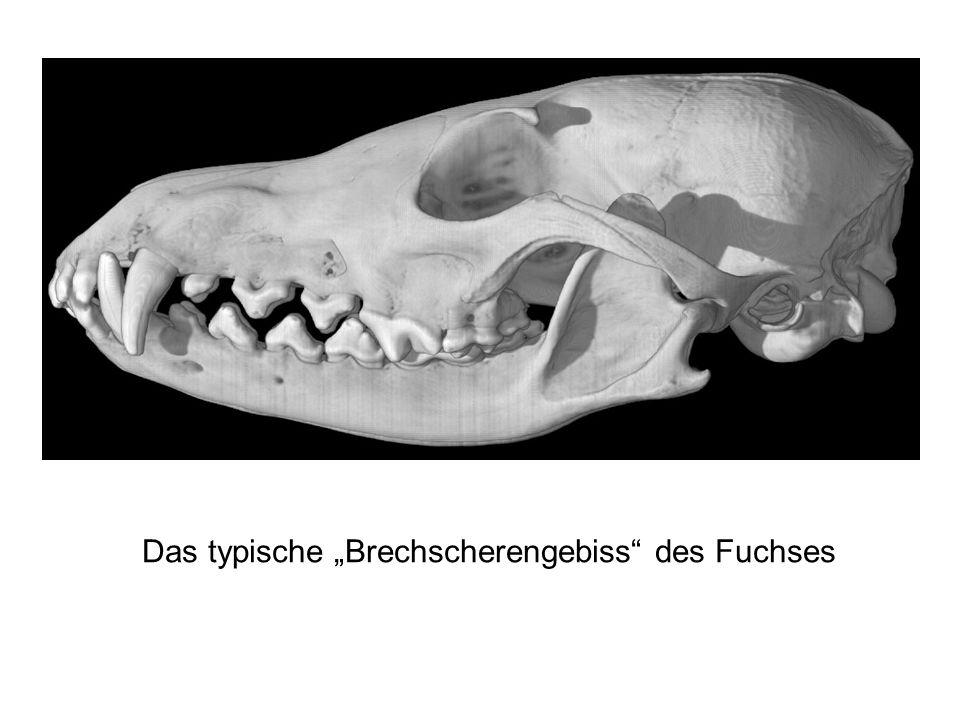 """Das typische """"Brechscherengebiss des Fuchses"""