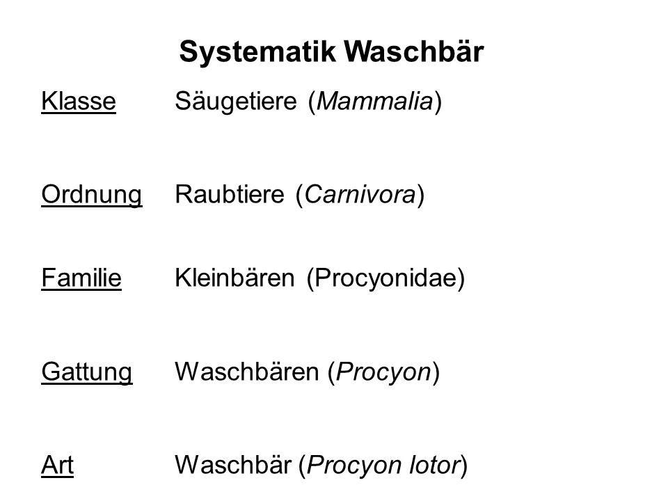 Systematik Waschbär Klasse Säugetiere (Mammalia)