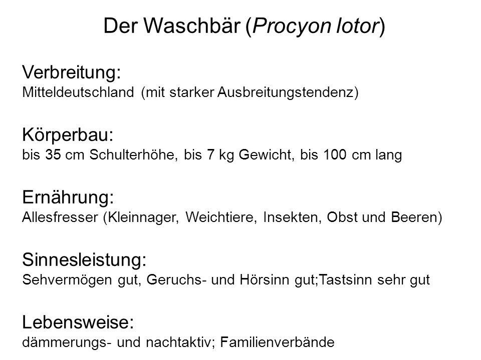 Der Waschbär (Procyon lotor)