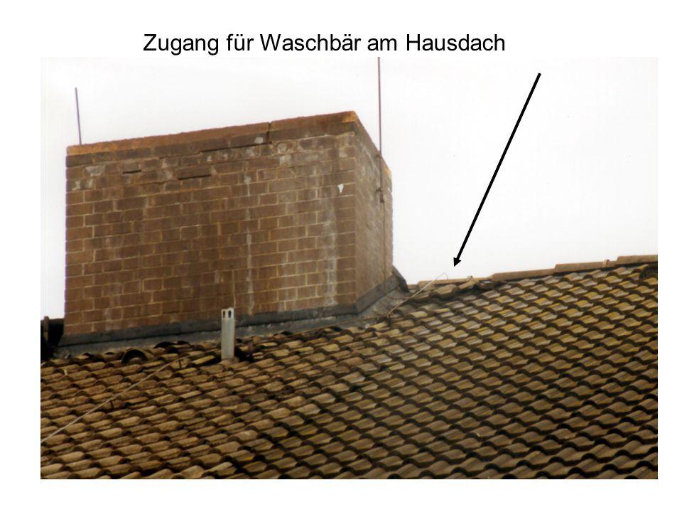 Zugang für Waschbär am Hausdach