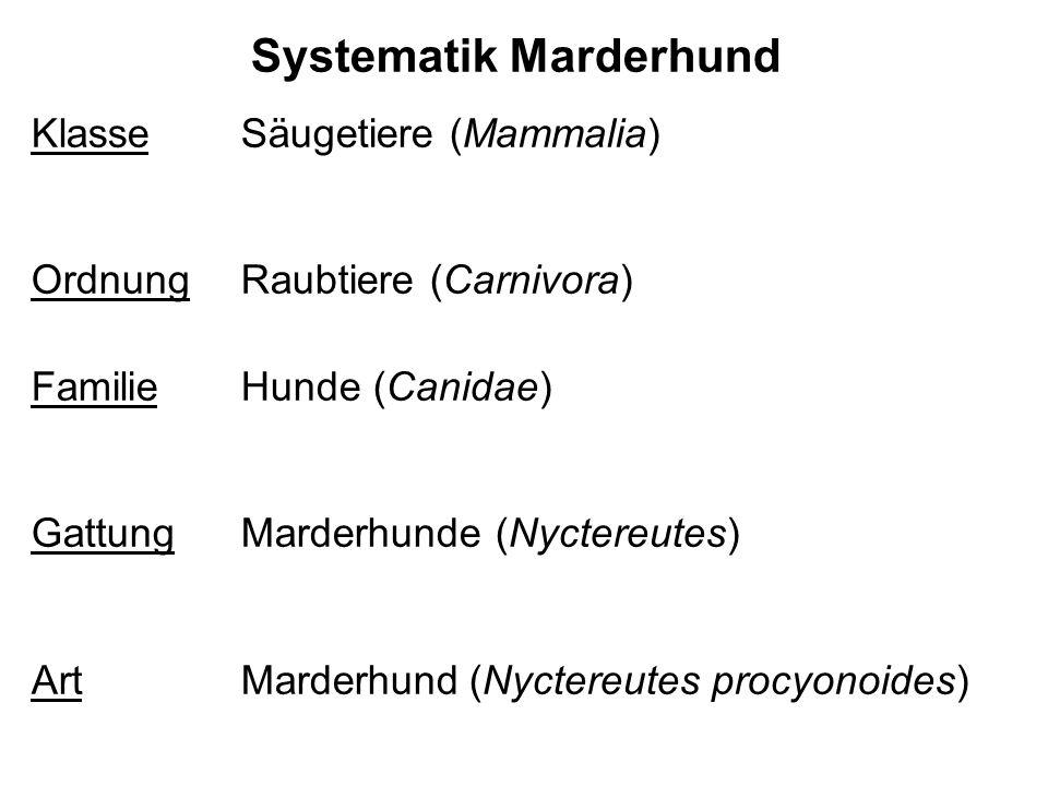 Systematik Marderhund