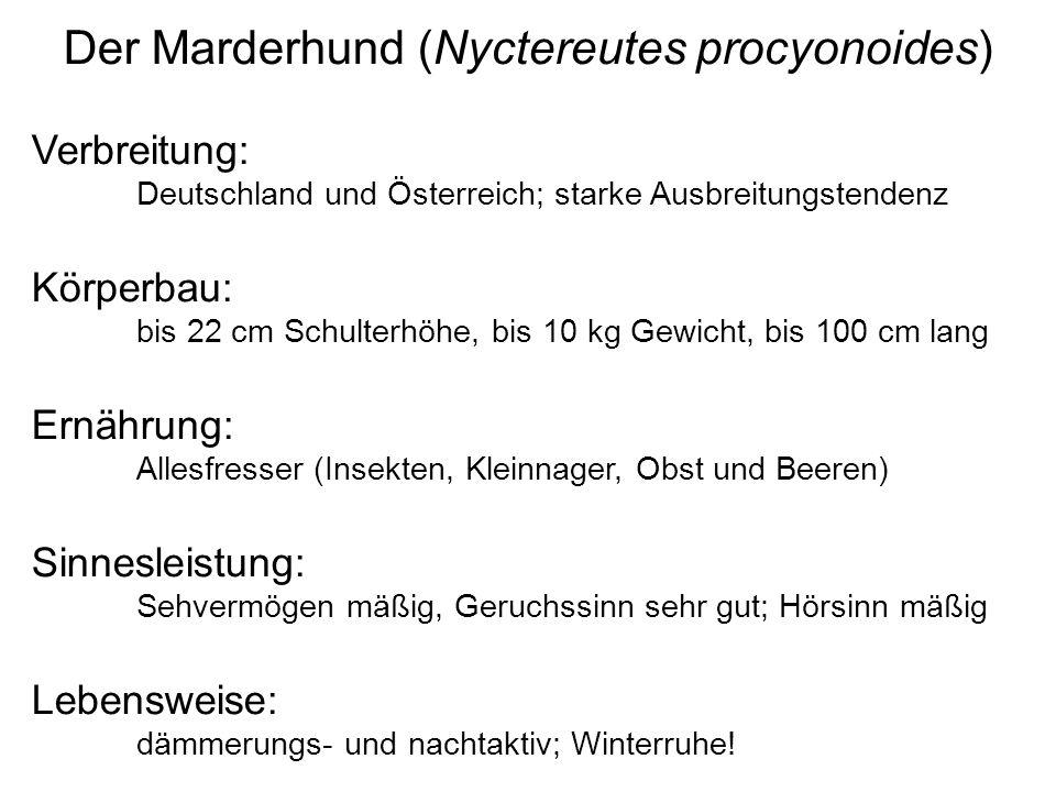 Der Marderhund (Nyctereutes procyonoides)