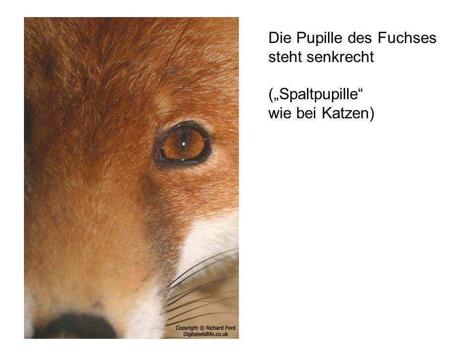 Die Pupille des Fuchses