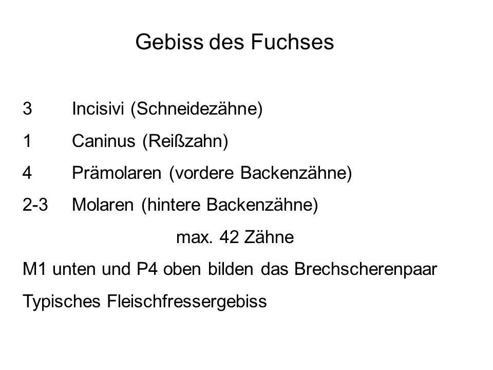 Gebiss des Fuchses 3 Incisivi (Schneidezähne) 1 Caninus (Reißzahn)
