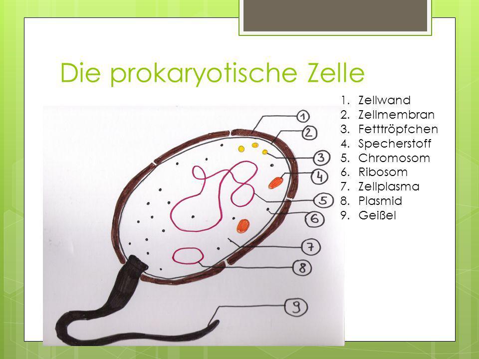 Die prokaryotische Zelle
